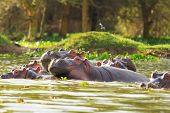 stock photo of hippopotamus  - Hippopotamus showing over the waters of Lake Naivasha - JPG