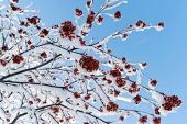 picture of rowan berry  - snow - JPG