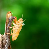 stock photo of exoskeleton  - Cicada shedding its shell animal wildlife skin - JPG