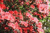 pic of azalea  - Azalea flowers - JPG