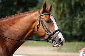 image of girth  - Chestnut sport horse portrait during competition in dressage - JPG