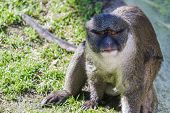 image of swamps  - a swamp monkey  - JPG
