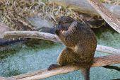 stock photo of swamps  - a swamp monkey  - JPG