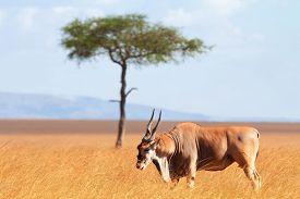 stock photo of eland  - Eland antelope in grass during the dry season - JPG