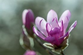 foto of japanese magnolia  - Flowering pink magnolia  - JPG
