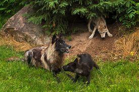 foto of lupus  - Black Phase Grey Wolf  - JPG