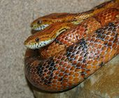 picture of harmless snakes  - orange snake - JPG