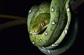 green tree snake emerald boa in the Bolivian rainforest strangler serpent of amazon rain forest at n