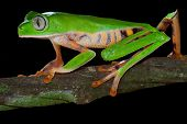 pic of nocturnal animal  - monkey tree frog closeup on a branch in tropical frog rain forest frog exotic animal with bright colors and big eyes endangered amphibian species from amazon frog jungle frog night black background - JPG