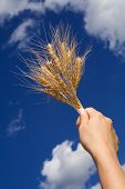 image of gleaning  - Woman hand holding wheat spikes against blue sky - JPG