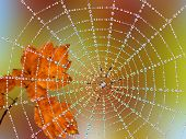 Spider in a web with dew drops
