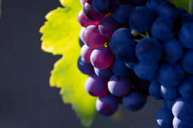 image of wine grapes  - closeup of the violet wine grape - JPG