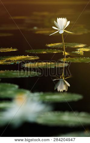 poster of The Beautiful White Lotus Flower Or Water Lily Reflection With The Water In The Pond.the Reflection