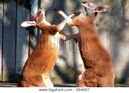 Picture or Photo of Kangaroos boxing