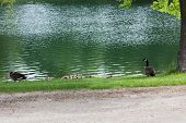 A Canadian Goose Family With Several Fuzzy Chicks Resting In The Green Grass Next To A Pond In Sprin poster