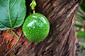 Green Passion Fruit On Vine Tree / Scarletfruit Passionflower - Passiflora Foetida poster