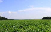 stock photo of vinnitsa  - Sugar beet field near Vinnitsa in Ukraine - JPG