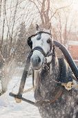 Dapple-gray Horse With Grey Mane In Harness Breathing Air On Cold Snowy Day poster