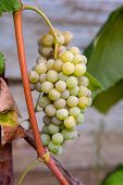 Juicy Ripe Bunch Of Grapes Pink Muscat On Branch In Vineyard. poster