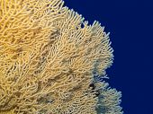Colorful Coral Reef At The Bottom Of Tropical Sea, Great Yellow Gorgonian On A Background Of Blue Wa poster