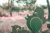 Opuntia Microdasys Cactus In Prairies Landscape Background With Field Grass Trees. Beautiful Tranqui poster