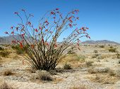 foto of anza  - ocottillo plant blooming in springtime in anza borrego desert  - JPG