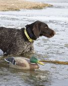 picture of gadwall  - Drahthaar hunting dog about ot make a retrieve in icy waters - JPG