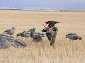 image of gadwall  - Duck Hunting in a field for Mallards - JPG