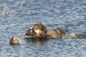 picture of pintail  - Drahthaar Hunting dog and a Drake Mallard - JPG