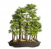 Golden larch, bonsai tree, pseudolarix amabilis, isolated on white