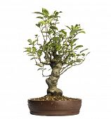Malus Perpetu Bonsai Baum, isolated on white
