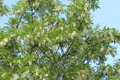 picture of locust  - Blossoms of a black locust  - JPG