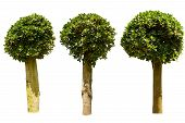 stock photo of xeriscape  - Three ficus tree on white with clipping path - JPG