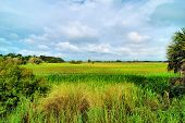picture of marshes  - Views of the sawgrass and marsh located at the Dinner Island Ranch in south Florida - JPG