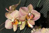 pic of freaky  - Freaky orchid pink and yellow - JPG