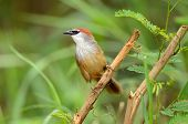 stock photo of babbler  - beautiful chestnut - JPG