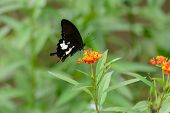 Black And White Helen Butterfly (papilio Nephelus)