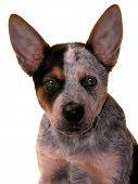 stock photo of blue heeler  - Portrait of a Blue Heeler puppy on white - JPG