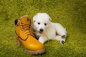 picture of swiss shepherd dog  - Baby swiss shepherd playing with yellow boot - JPG
