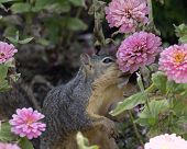 pic of zinnias  - This squirrel is not smelling pink zinnias to enjoy the fragrance but to discover if they are tasty enugh to eat! One squirrel can empty a blossoming zinnia patch in no time at all!