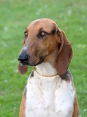 image of scenthound  - Portrait of typical Scenthound Poitevin on a spring meadow - JPG