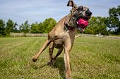 pic of great dane  - Great Dane having just caught red ball in mouth in field  - JPG