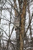 stock photo of snow owl  - Barred Owl sitting on a bare branch high up a tall tree, on the outskirts of a large city on a cold winter day, facing east in the early afternoon