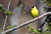 image of goldfinches  - A Male Goldfinch Perched in a Tree - JPG