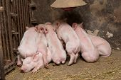 picture of piglet  - Little piglets suckling their mother - JPG