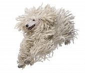 image of standard poodle  - Front view of White Corded standard Poodle running in front of white background - JPG
