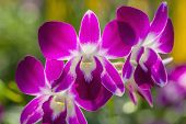 stock photo of orquidea  - A branch of pink orchid orchid in the garden - JPG