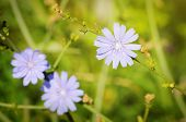 picture of chicory  - Photo of the Blue Chicory Flower Over Green Grass