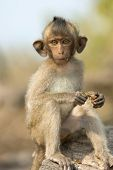 stock photo of baby-monkey  - baby monkey sitting on the rocks and eat - JPG