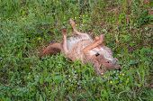 pic of coyote  - Coyote  - JPG